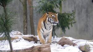 Tygrys syberyjski w płockim ogrodzie zoologicznym